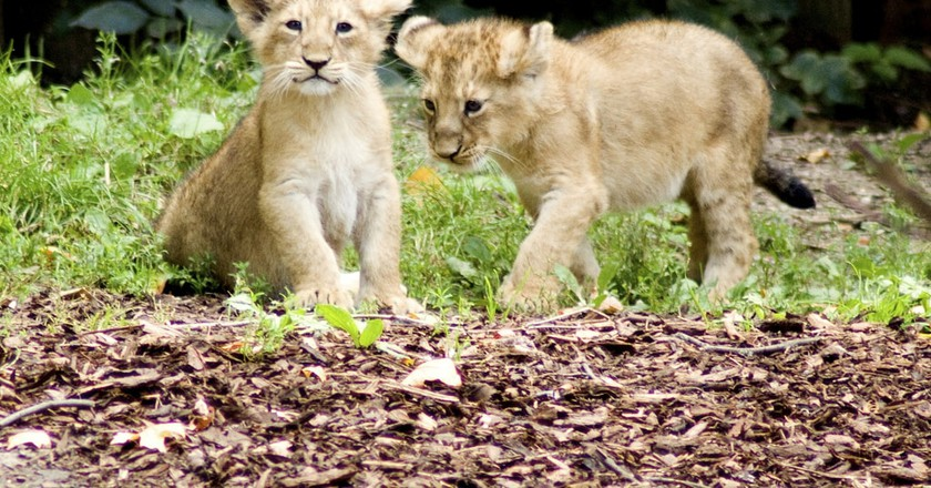 Lion cubs at ZSL London Zoo | © Paul/Flickr