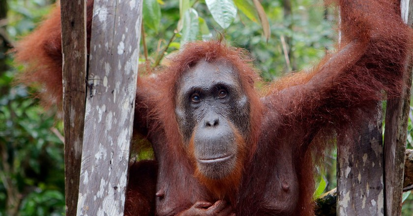 Orangutan in Borneo © Alistair Kitchen / Flickr