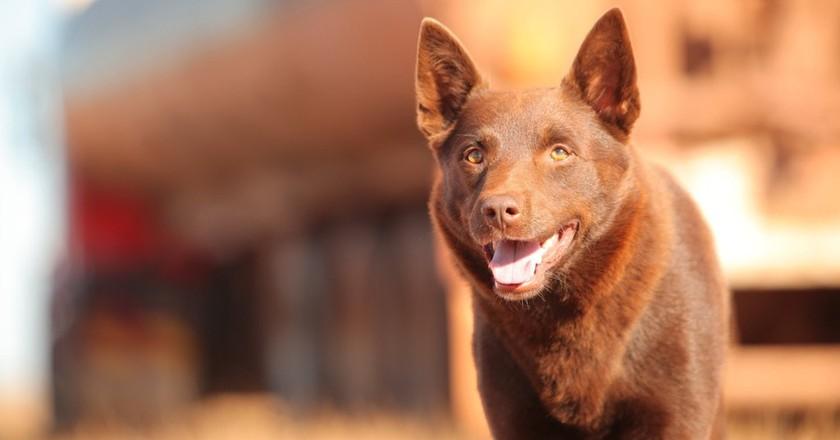 Red Dog | © Roadshow Film Distributors