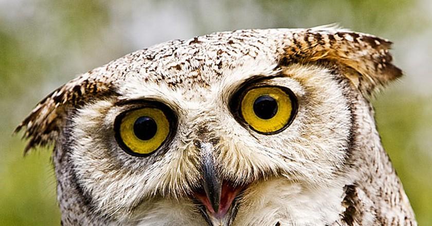 Owl © Steve Wellock/ Flickr