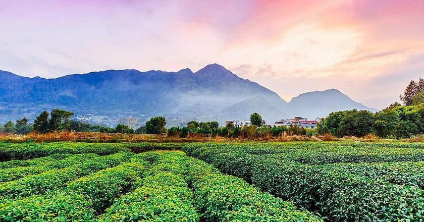 Tea plantation | ©Hai Yang/Flickr