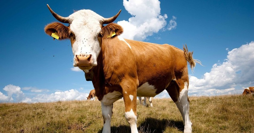 Bull | © HCE70 / Pixabay