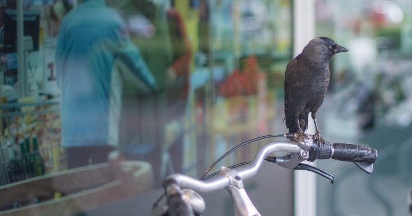 A Dutch Company Is Training Crows to Clean Up Cigarette Butts