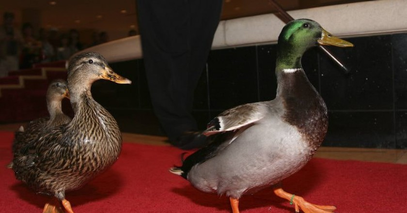Peabody Ducks at the Duck March   © Ed Schipul / Flickr