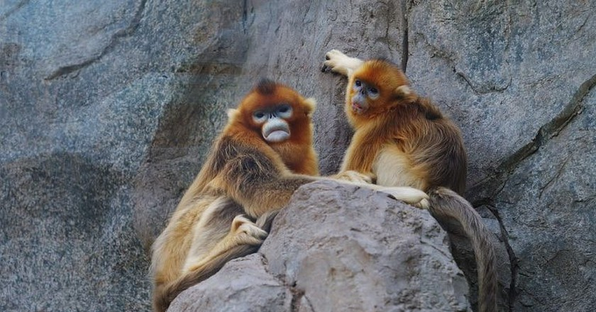 Snub-Nosed Monkeys | © Danielinblue/WikiCommons