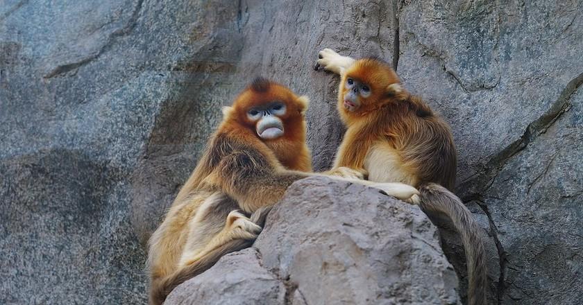 Snub-Nosed Monkeys | © Danielinblue/WikiCommons