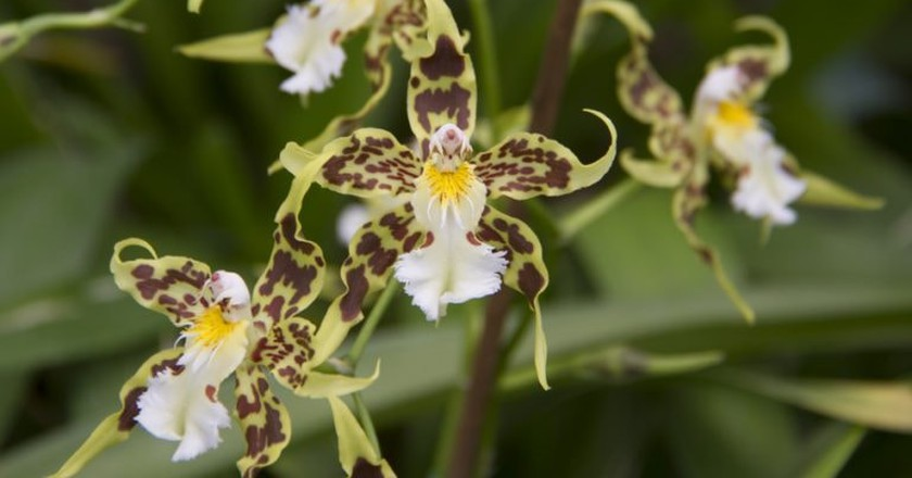 Ecuadorian orchids | © Vibeke Johannessen / Courtesy of The Viking Abroad