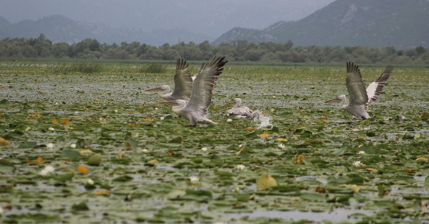 Pelicans on Lake Skadar | © Courtesy of Boat Milica