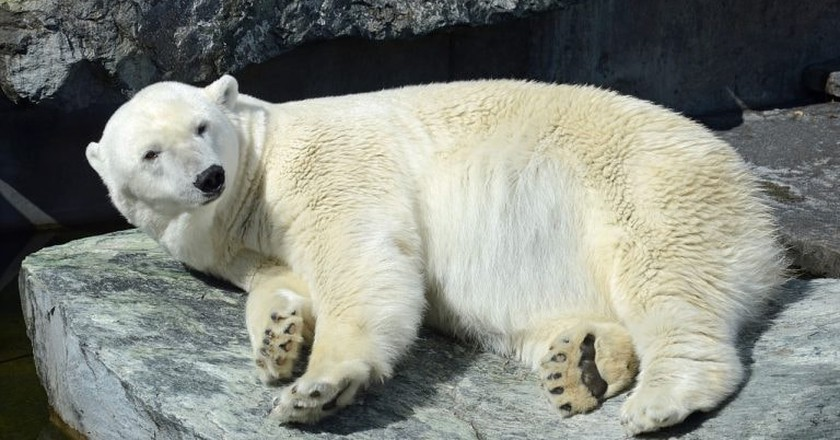See polar bears at the zoo | © Schlaup / Pixabay