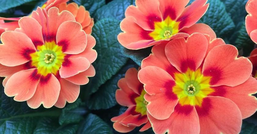 Primrose © AnHeuer/Pixabay