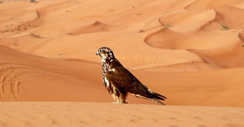 Falcon in the Sharjah desert