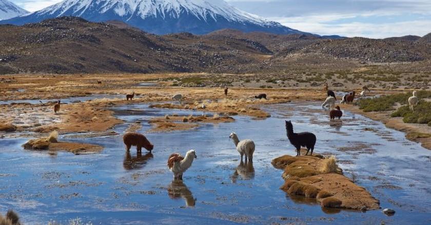 Alpaca grazing   © JeremyRichards / Shutterstock