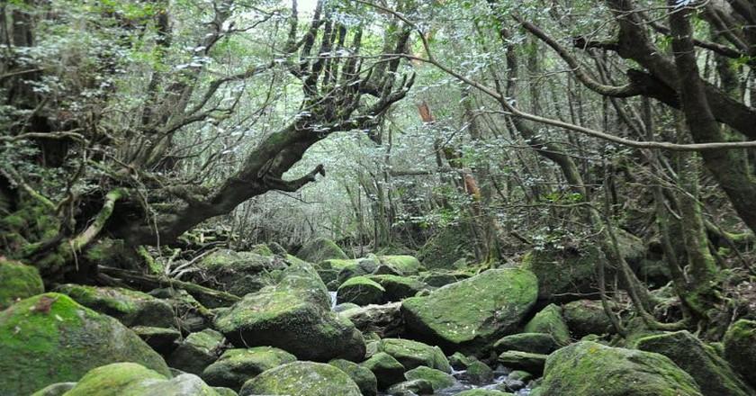 Yakushima Forest/courtesy of BenedettaR via Wiki Commons