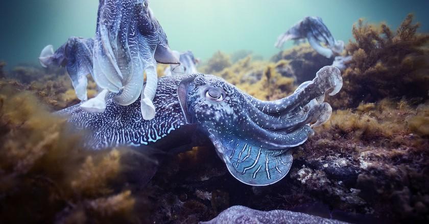 Mating Cuttlefish in BBC's Blue Planet II   © Hugh Miller