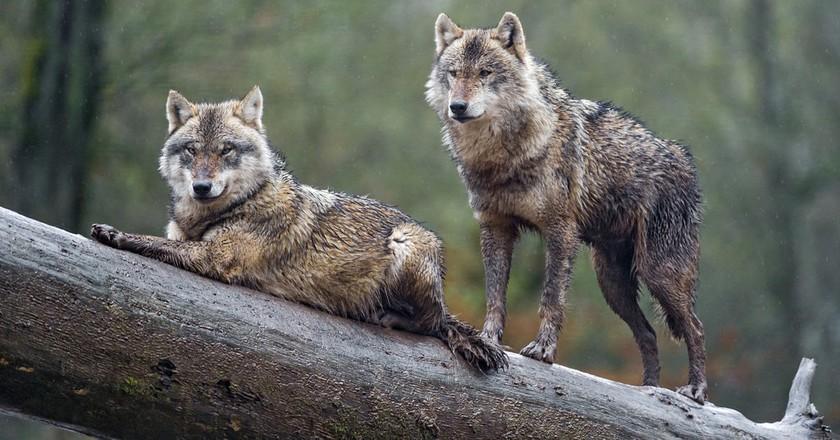 Wolves in France   © Tambako The Jaguar / Flickr