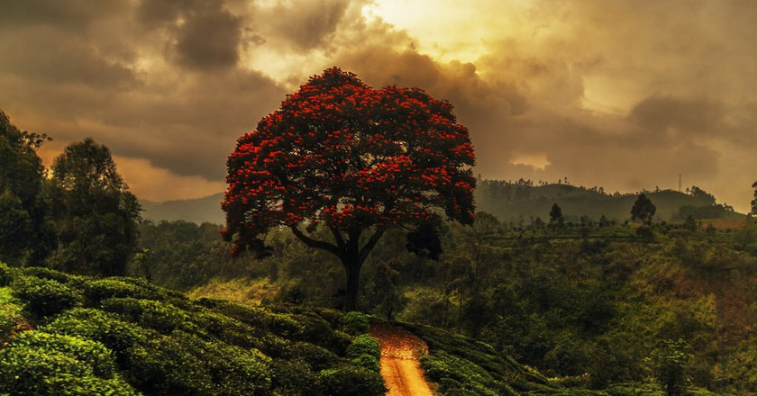 Acacia in the Sri Lanka highlands © Andreas Kretschmer / Flickr