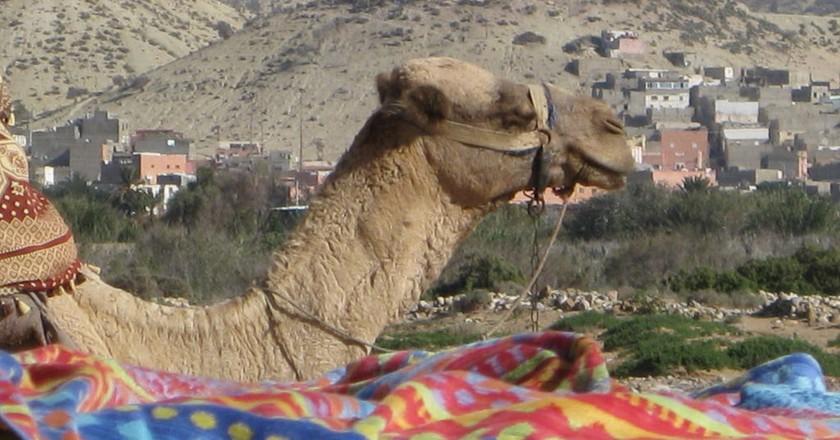 Camel surveys the scenery in Agadir | © libargutxi / Flickr