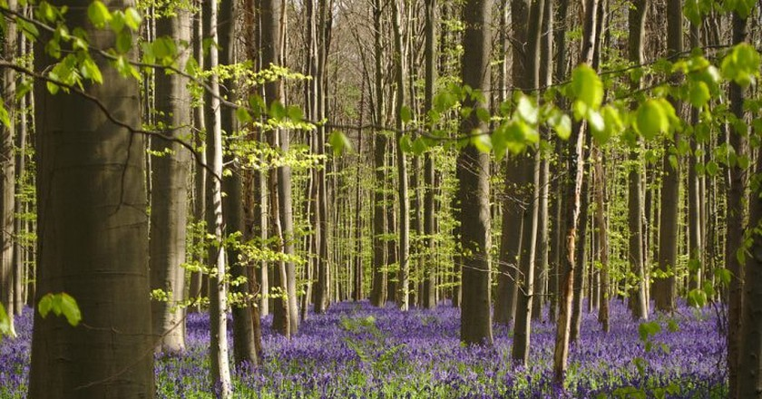 Hallerbos wild hyacinth flowering