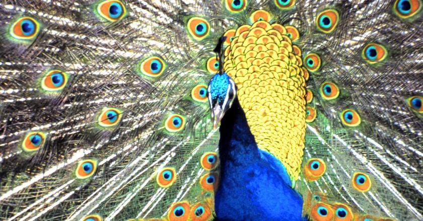 Peacock Display   © Dun.Can/Flickr
