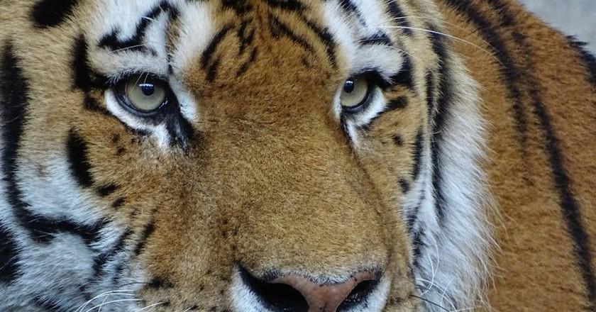 Siberian tiger | © 3Dinaani / Pixabay