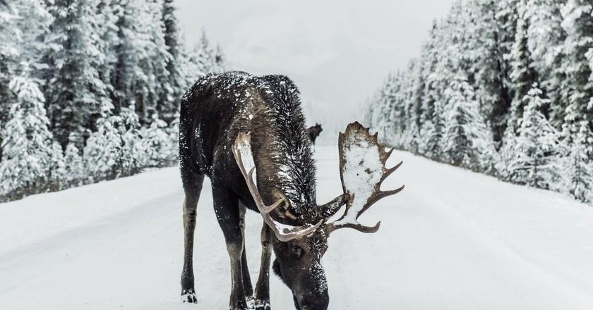 Moose on the loose | ©  Ivars Krutainis/Unsplash