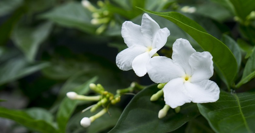 Jasmine Flower is a famous Chinese song   © anhnhidesign / Pixabay