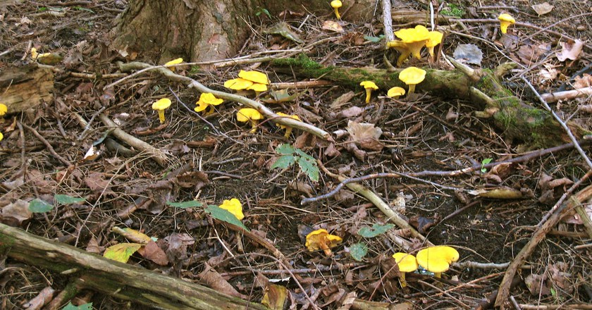 Chanterelle in the wild | © Sandra Cohen-Rose and Colin Rose/Flickr