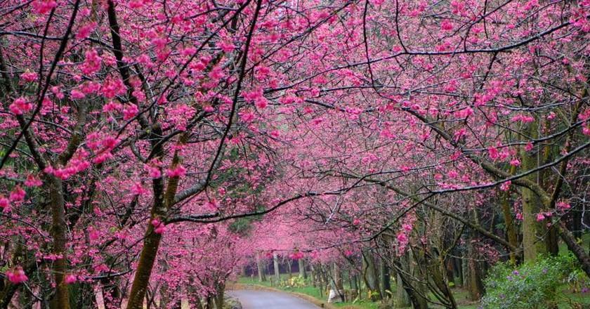 Cherry Blossoms | © Yangchen(TW) / Flickr