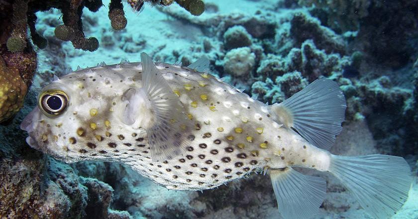 Burrfish | © Zisspeo / Flickr