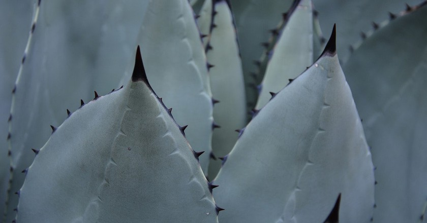 Agave plant | © Michele Dorsey Walfred / Flickr