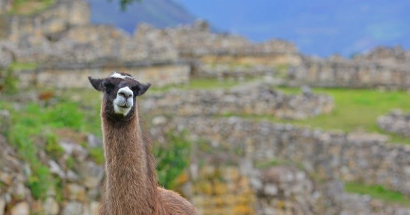 A llama in Kuélap | © Panegyrics of Granovetter/Flickr