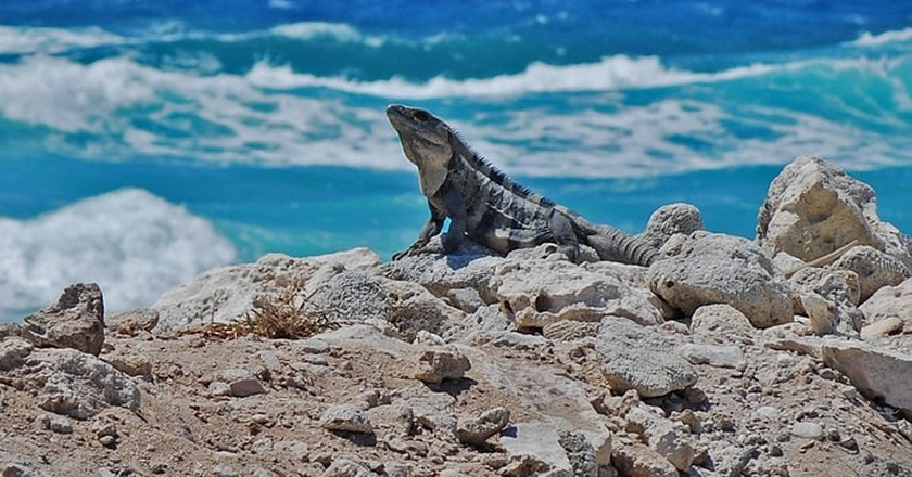 Iguana in Cozumel | © Jared Young / Flickr