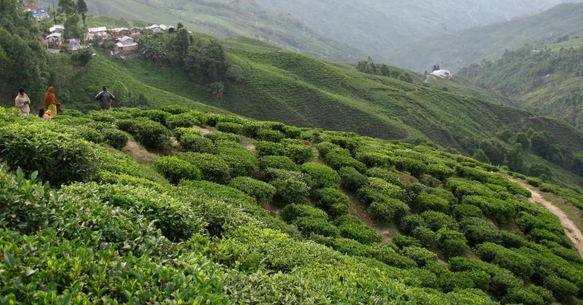 Darjeeling tea plantation | © shankar s. / Flickr