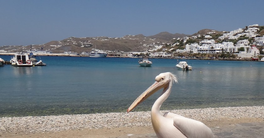 One of the three pelicans of Mykonos  |© jojo/Flickr