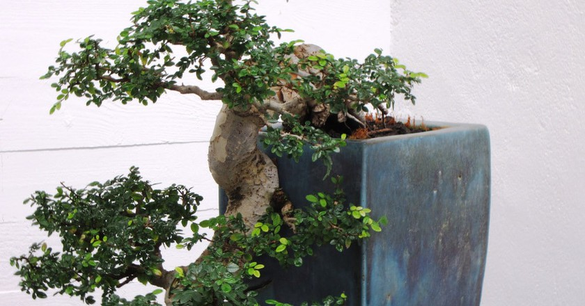 A miniature tree in Marbella's Museo del Bonsai; Annabel Kaye/flickr