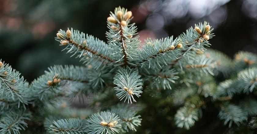 Christmas tree | © schnappi / Pixabay