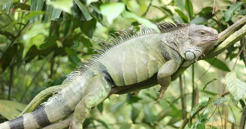 Green iguanas are often found in trees