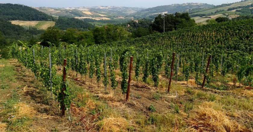 Vineyard in Oltrepò Pavese | © Villa I Due Padroni B&B