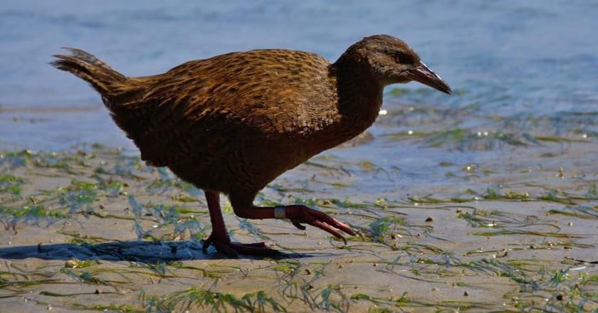 Stewart Island weka on the beach   © Tomas Sobek/Flickr