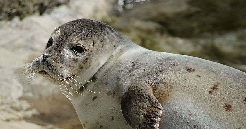 A species of an earless seal | © Marcel Burkhard/WikiCommons
