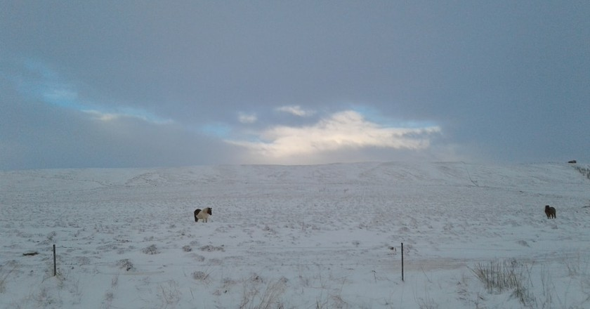 Icelandic pony | © Erin Honeycutt