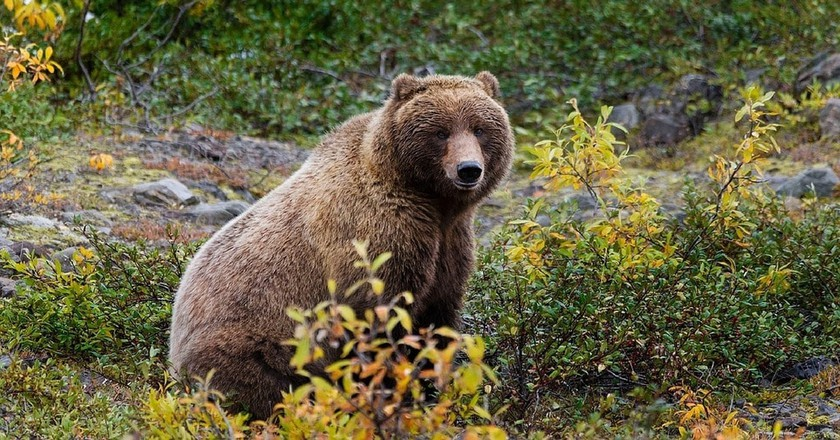 The Alaska grizzly looks similar to the now-extinct California grizzly bear   ©Max Pixel / FreeGreatPicture.com