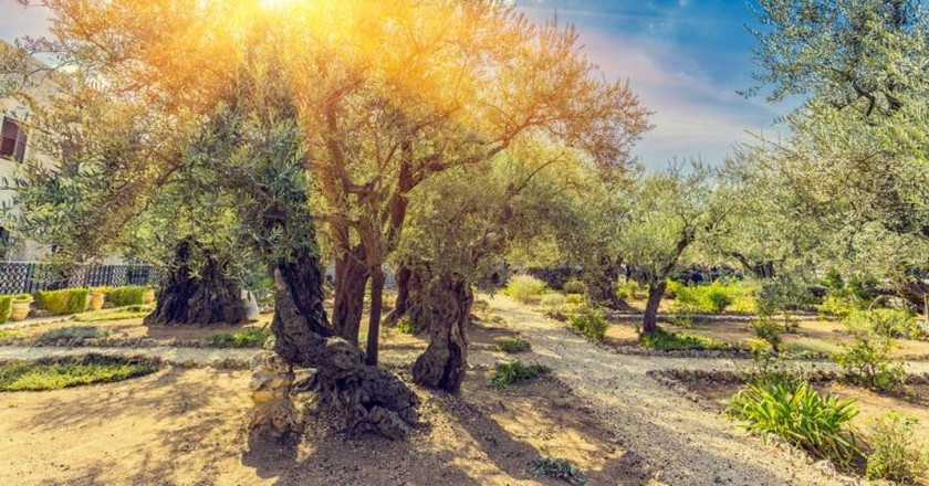 The Gethsemane Olive Orchard, Garden located at the foot of the Mount of Olives, Jerusalem, Israel | © Dmitry Pistrov / Shutterstock