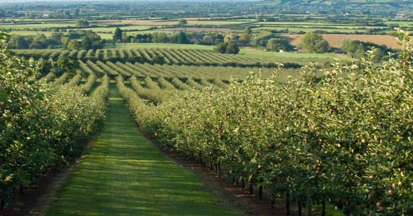 Thatcher's orchard, Somerset