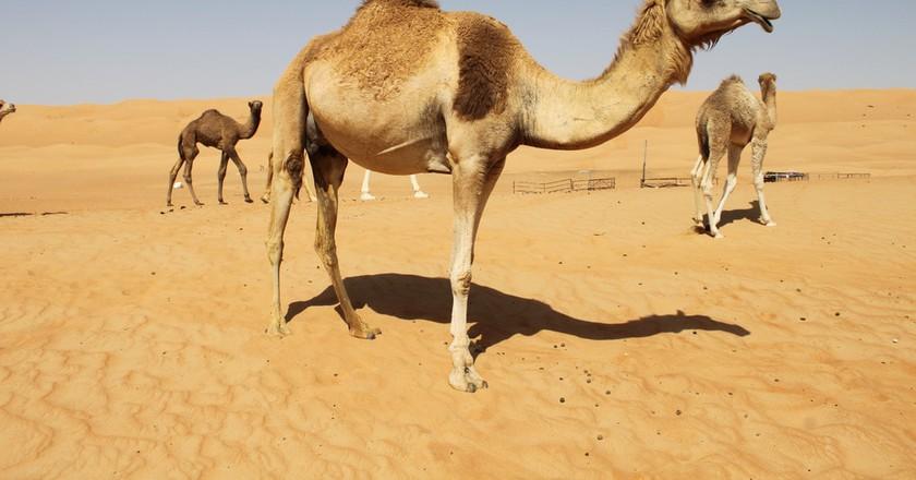 Camels in Oman I © Liam / Flickr