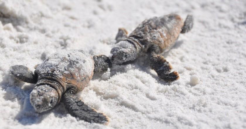 Turtle hatchlings   © Bureau of Land Management/Flickr