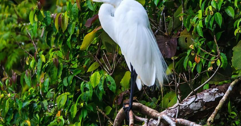 A Great Egret near Rio Dulce, Guatemala © Murray Foubister / flickr