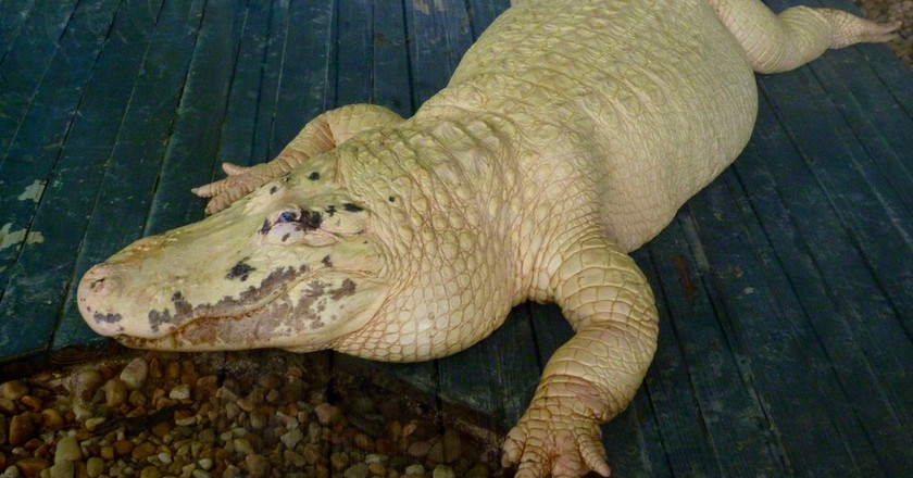 Leucistic alligator
