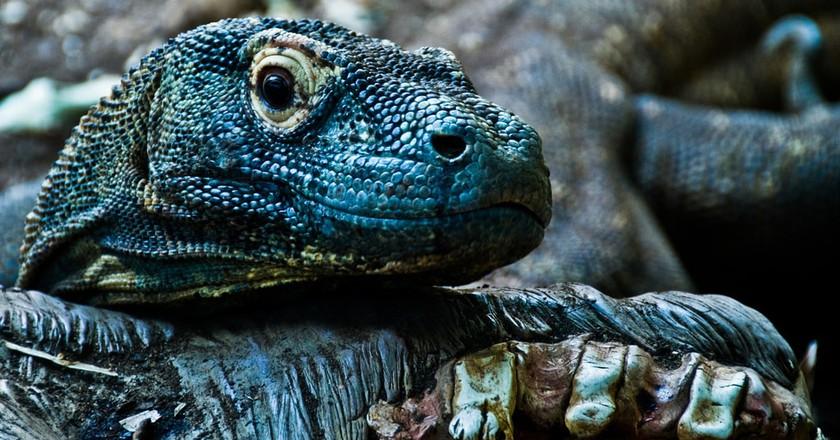 Komodo dragon | © Gary Ullah/Flickr