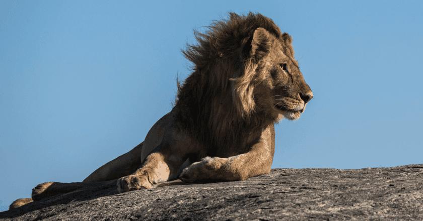 Lion | © Jean Wimmerlin/Unsplash